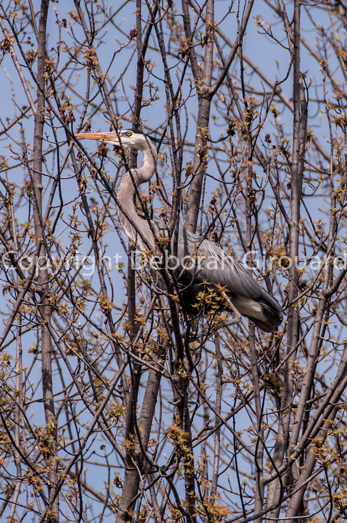 Heron in the Tree