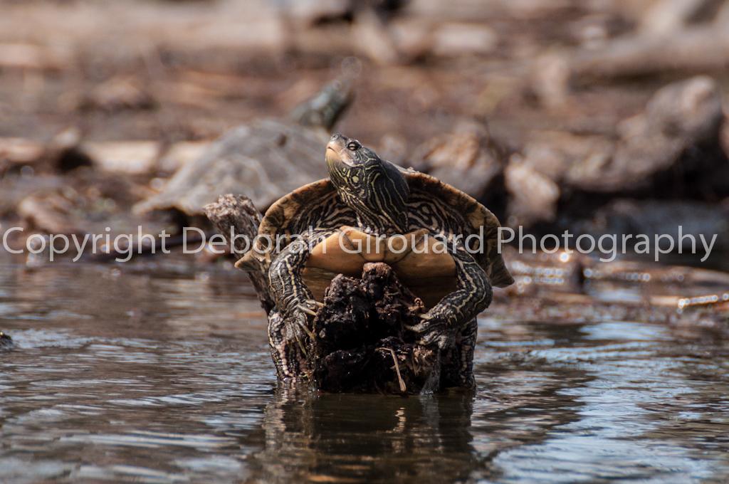 Happy Sunning Turtle