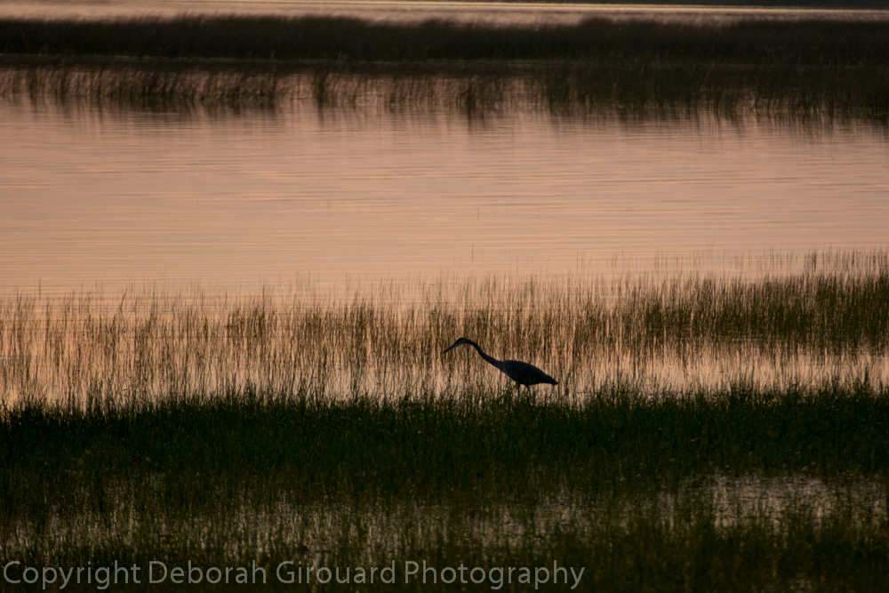 Heron Fishing at Sunset, Missisquoi Bay, Lake Champlain