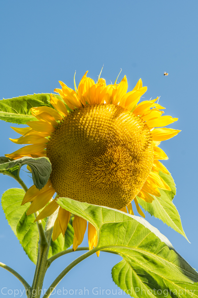 My Mammoth Sunflower Day by Day