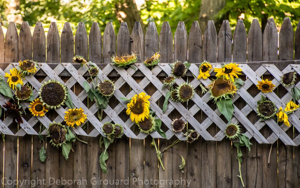 Sunflower Graveyard